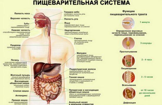 Процесс пищеварения в организме человека, этапы и схема